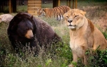 Bear-Tiger-Lion